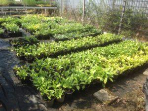 Diverse Siergrassen, Panicum soorten, Penisetum soorten Imperata soorten